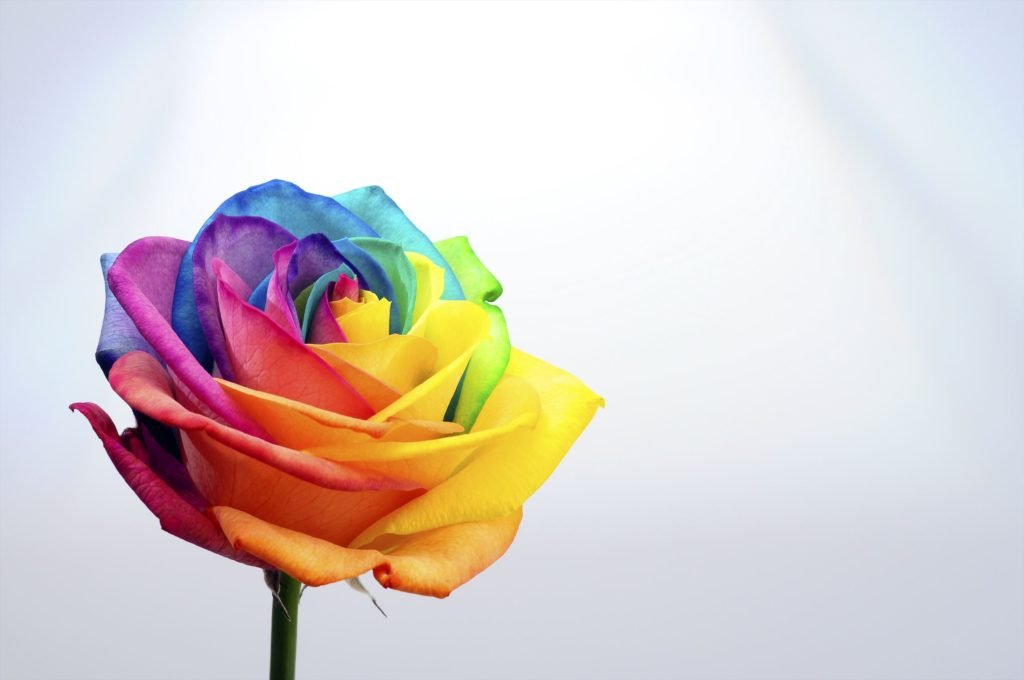Rainbow rose flower and multi colored petals